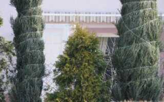 Хвойные в саду: защита хвойных от снега
