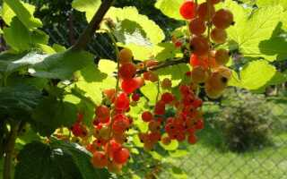Как вырастить смородину — вкусные и полезные ягодные кусты
