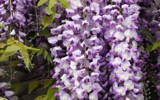 Глициния или глициния — цветущая лоза для сада