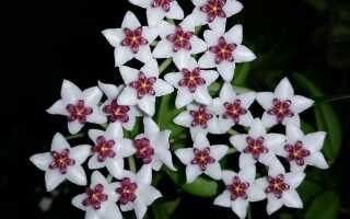 Ходжа — растение в горшке с восковыми цветами и красивым ароматом