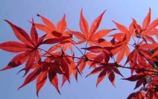 Клон пальмы в саду. Красивый куст с разноцветными листьями