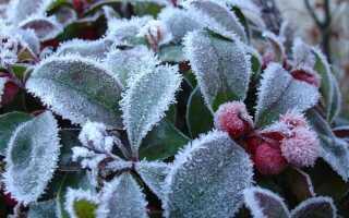 Golteria в саду — кустарник также зимой. Выращивание и уход —