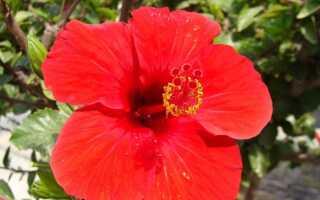 Горшечный гибискус или китайская роза. Секреты выращивания и ухода