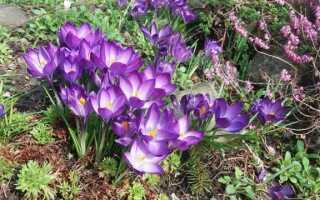 Крокусы в саду — когда сажать и как выращивать этих весенних предвестников