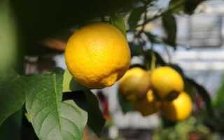 Цитрусовые деревья в домашних условиях. Выращивание лимона в горшке (пленка)