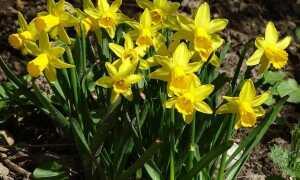 Нарциз — весенний цветок, который любит одиночество. Как вырастить нарциссы