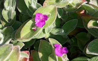 Пятнистый гибискус — силламонтана. Как вырастить это растение в доме и саду