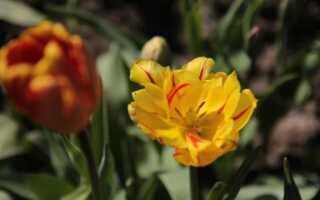 Что делать с луковичными растениями после их цветения?