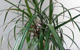 Драцена — драконья ладонь. Выращивание и уход драцена