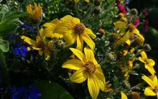Байденс — хакбэк-фаркоп: растение для солнечного балкона и многое другое. Выращивание —