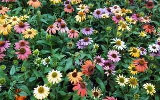 Эхинацея, или эхинацея — цветы для хорошего здоровья