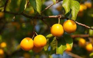 Мирабель — свойства, пищевая ценность и применение этих фруктов