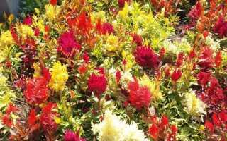 Выращивание целозии — цветы для балконов и сада