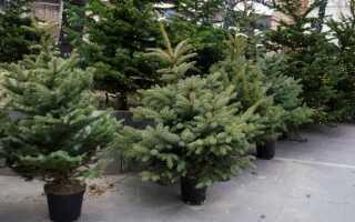 Мы выбираем елку на Рождество. Что нужно сделать, чтобы сохранить его свежим и ароматным в течение длительного времени