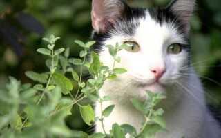 Кошачья мята — что характеризует это растение (ВИДЕО)