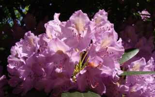 Рододендроны, т.е. азалии — цветущие кустарники для сада