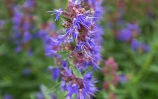 Иссоп, или юзефек — растение для хорошего здоровья