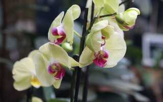 Что делать, когда цветет орхидея. Обрезка побегов и груминг