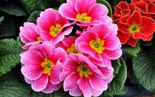 Первоцветы в горшке — весна дома! Как ухаживать за ними?