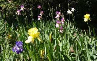 Почему не цветут ирисы и с чего начать