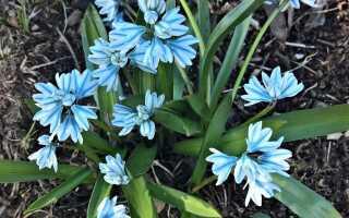 Пушкин — предвестник весны. Как вырастить банки в саду