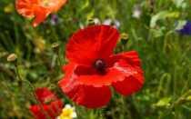 Мак в саду. Что нужно знать о выращивании мака