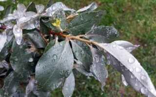 Оливковое дерево — это куст, который не несет оливки