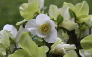 Растения, которые цветут зимой в саду