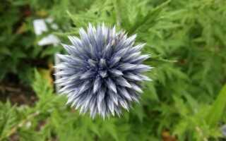 Эхинопсис — многолетнее растение, которое ценится за свои оригинальные цветы