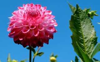 Георгины: цветы не очень модные, но красивые