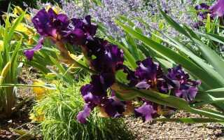 Ирисы в саду — многолетние растения с красивыми цветами