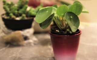 Pieniążek (Pilea) — цветок в горшке, который бьет рекорды популярности
