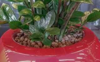 Zamioculcas przewiolist — полив, размножение, пересадка