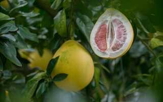 Помело или гигантский апельсин. Пищевые и доморощенные свойства помело