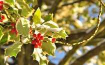 Декоративные растения на Рождество — Холли и Омела