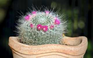 Горшечные кактусы нуждаются в зимнем отдыхе
