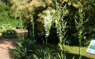 Ее рост — это каролинский сок — растение выше среднего (ФОТО)