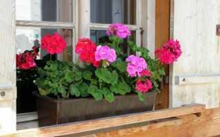 Пеларгония цветет до заморозков