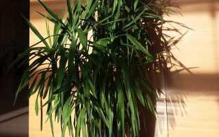 Выращиваем юкку — растение с розетками декоративных листьев