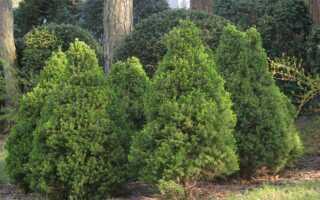 Как выращивать хвойные деревья зимой?