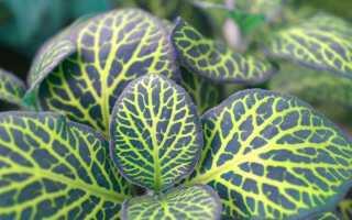 Фитония — растение в горшке с красивыми листьями. Секреты выращивания