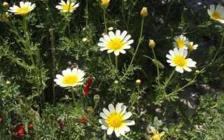 Хризантема съедобная — вкусный цветок, который украшает и лечит