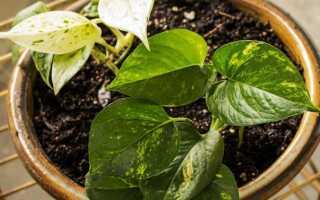 Тонкие комнатные растения