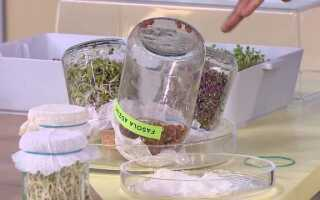 Как вырастить ростки в квартире (ВИДЕО)