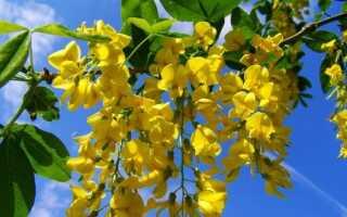 Кузнечик в саду висит над желтыми кластерами