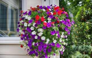 Surfinie — красивые цветы для балконов и террас