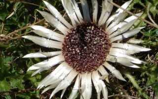Карлинская нематода — свойства и условия выращивания