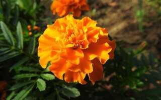 Бархатцы — как вырастить эти долгоцветущие и нетребовательные цветы