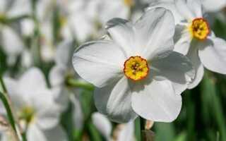 Белый нарцисс — ароматный цветок из сельского сада. Как вырастить это