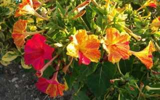 Dziwaczki jalapa — цветущая корица для сада. Как вырастить их